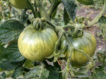 Tomate verte Images stock