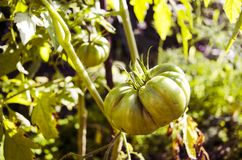 Tomate verte Comcept d'agriculture Photographie stock libre de droits