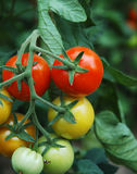 Tomaten 1 Stock Foto's