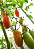 Tomaten. Stockbild