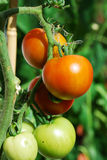 Tomaten Lizenzfreies Stockfoto