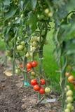 Tomaten auf dem Gebiet lizenzfreies stockbild