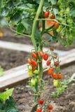 Tomaten auf dem Gebiet stockfotografie