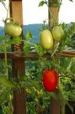 Tomaten auf der Rebe Lizenzfreies Stockbild