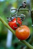 Tomaten auf der Rebe Stockbild