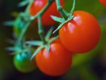 Tomaten auf der Rebe Stockfoto