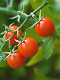 Tomaten auf der Rebe Lizenzfreie Stockbilder