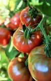 Tomaten auf der Rebe im organischen Gemüsegarten Stockbild