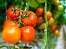 Tomaten auf einem Stamm Stockfotografie