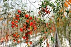 Tomaten auf einer Niederlassung in einem Bauernhof, selektiver Fokus, Thailand Lizenzfreie Stockfotografie