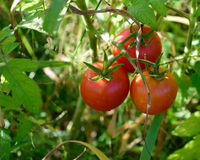 Tomaten auf Rebe Stockbild