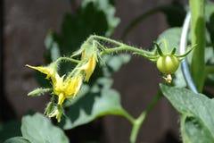 Tomaten-Blüte und Frucht, Tschechische Republik, Europa lizenzfreie stockfotografie