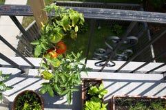 Tomaten-Blumentopfgarten auf Balkon Stockbilder