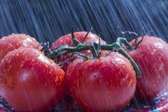 Tomaten in de regen Royalty-vrije Stock Afbeeldingen