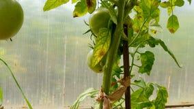 Tomaten in de serre stock footage