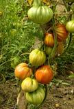 Tomaten in de tuin Stock Fotografie