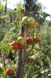 Tomaten in de tuin Stock Afbeelding