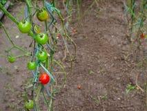 Tomaten in de tuin Royalty-vrije Stock Fotografie