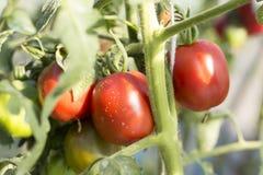 Tomaten in de tuin, moestuin met installaties die van rode tomaten, op een tuin groeien Rode tomaten die op een tak groeien Stock Fotografie