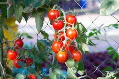 Tomaten in de tuin, moestuin met installaties van rode tomaten Stock Afbeelding