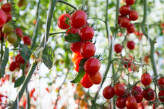Tomaten in de tuin, moestuin met installaties van rode tomaten Rijpe tomaten op een wijnstok, die op een tuin groeien Rode tomate Stock Foto's