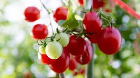 Tomaten in de tuin, moestuin met installaties van rode tomaten Rijpe tomaten op een wijnstok, die op een tuin groeien Rode tomate Royalty-vrije Stock Foto
