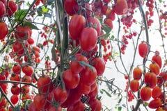 Tomaten in de tuin, moestuin met installaties van rode tomaten Rijpe tomaten op een wijnstok, die op een tuin groeien Rode tomate Stock Afbeelding
