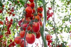 Tomaten in de tuin, moestuin met installaties van rode tomaten Rijpe tomaten op een wijnstok, die op een tuin groeien Rode tomate Royalty-vrije Stock Afbeeldingen