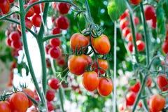 Tomaten in de tuin, moestuin met installaties van rode tomaten Rijpe tomaten op een wijnstok, die op een tuin groeien Rode tomate Stock Afbeeldingen