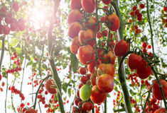 Tomaten in de tuin, moestuin met installaties van rode tomaten Rijpe tomaten op een wijnstok, die op een tuin groeien Rode tomate Stock Fotografie