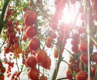 Tomaten in de tuin, moestuin met installaties van rode tomaten Rijpe tomaten op een wijnstok, die op een tuin groeien Rode tomate Stock Foto
