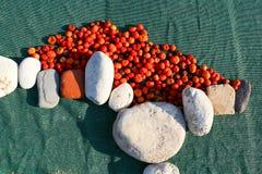 Tomaten in de zon Royalty-vrije Stock Afbeeldingen