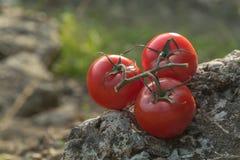 Tomaten in der Natur auf einem Felsen Lizenzfreie Stockfotos