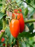 Tomaten, die auf Anlage wachsen Lizenzfreie Stockfotos