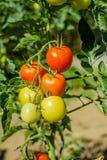 Tomaten, die auf dem Zweig reifen Lizenzfreies Stockfoto