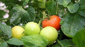 Tomaten, die auf der Rebe reifen Stockbilder