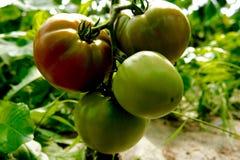 Tomaten, die auf der Rebe reifen Lizenzfreies Stockbild