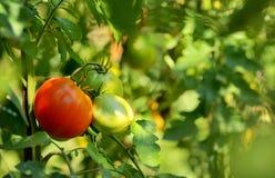 Tomaten, die auf der Rebe wachsen Stockfotos