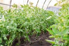 Tomaten die bij het hangen van steel in serre rijpen Landbouwconcept en industriële cultuur van tomaten en kruiden stock afbeeldingen