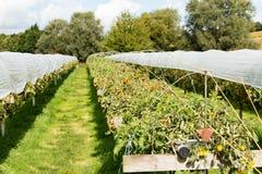 Tomaten die bij het Parkside-landbouwbedrijf groeien Stock Fotografie
