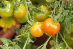 Tomaten die in de tuin rijpen Royalty-vrije Stock Fotografie