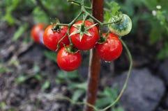 Tomaten, die in einem Gemüsegarten wachsen Stockbilder
