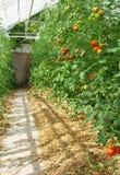 Tomaten, die in einem Gewächshaus reifen Stockfoto