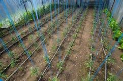 Tomaten, die im Gewächshaus wachsen Stockfotografie