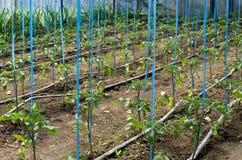 Tomaten, die im Gewächshaus wachsen Stockfoto