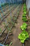 Tomaten, die im Gewächshaus wachsen Lizenzfreie Stockfotografie