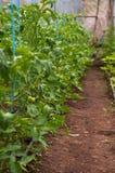 Tomaten, die im Gewächshaus wachsen Lizenzfreies Stockfoto