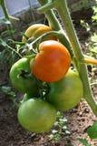 Tomaten die op de installatie rijpen Royalty-vrije Stock Foto's