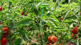 Tomaten die in plantaardige serre groeien stock video