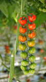 Tomaten die in serre groeien Royalty-vrije Stock Afbeelding